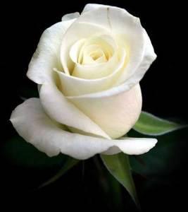 mawar_putih